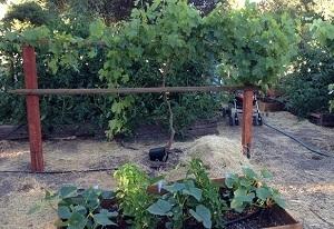 シリコンバレーの一般家庭の庭先につくられた菜園